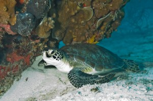 Green Sea Turtle in Biscayne National Park (Photo credit: National Park Service South Florida / Caribbean Network)